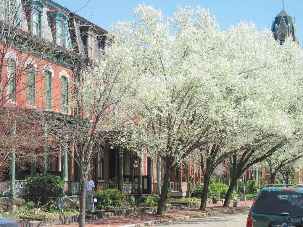 View of Manchester street, showing blossoming trees in front of brick buildings